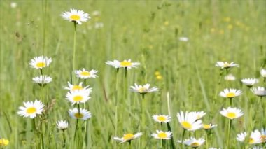 Meadow with white flowers — Wideo stockowe