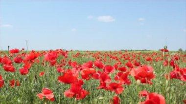 Prado con flores de amapola — Vídeo de Stock