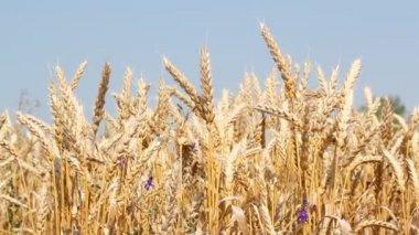 Golden wheat summer scene — Stock Video