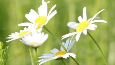 Brancas flores silvestres — Vídeo stock
