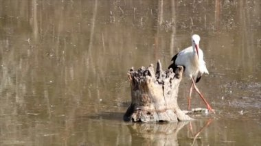 White stork in swamp — Stock Video