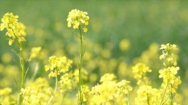 Gele bloemen lente — Stockvideo