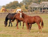 Horses farm scene — Stock Photo