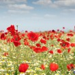Stock Photo: Poppy flowers field nature spring scene