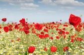 Poppy flowers field nature spring scene — Stock Photo