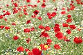 Escena de primavera de flores rojas y blancas — Foto de Stock