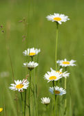 Escena de primavera de naturaleza blanca flores silvestres — Foto de Stock