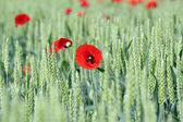 Primavera scena verde grano e fiori di papavero — Foto Stock