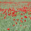 Stock Photo: Green wheat and red poppy flowers field