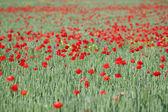 グリーン小麦と赤いケシの花のフィールド — ストック写真