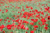 ケシの花と緑の小麦 — ストック写真