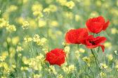 Makové květy na jaře scéna — Stock fotografie