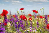 Poppy and wild flowers spring scene — Stock Photo