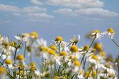 Chamomile nature spring scene — Stock Photo