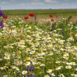 Colorful meadow with wild flowers — Foto Stock