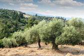 Olive trees hill — Stock Photo