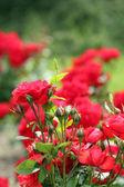 バラの庭のばねのシーン — ストック写真