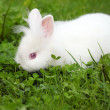 Dwarf white bunny spring scene — Stock Photo