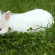 Royalty-Free Stock Photo: Dwarf white rabbit in green grass