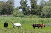Horses on pasture nature farm scene — Stock Photo