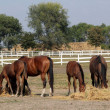 Stock Photo: Horses and foals eat hay on farm