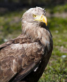 European white tiled eagle portrait — Stockfoto