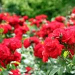 Red roses garden spring scene — Stock Photo #20356989