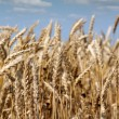 Agriculture golden wheat and blue sky - Stock Photo