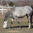 Stock Photo: Gray horse in corral
