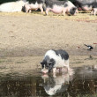 Stock Photo: Pig drink water farm scene