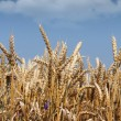 Golden wheat and blue sky - Stock Photo