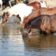Horses drink water nature scene — Stock Photo