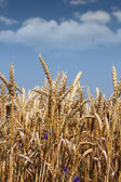 Golden wheat and blue sky — Stock Photo