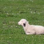 Cute little lamb lying on pasture — Stock Photo #24089897