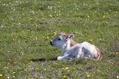 Carino piccolo vitello sdraiato sul pascolo — Foto Stock