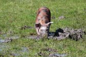 Little pig in a mud farm scene — Stock Photo