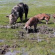 Stock Photo: Sow and little pigs in mud