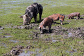 Sow and little pigs in a mud — Stock Photo
