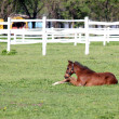 Royalty-Free Stock Photo: Brown foal lying in corral