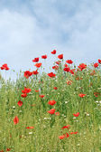 Meadow with wild flowers nature scene — Stock Photo