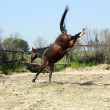 Brown stallion kicking in paddock - Stock Photo