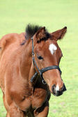 Brown horse close up portrait — Stockfoto