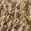 Golden wheat field agriculture background — Stockfoto