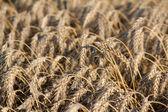 Gouden tarwe veld landbouw achtergrond — Stockfoto