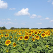 Sunflowers field and blue sky landscape — Stock Photo