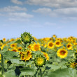 Sunflower field and blue sky summer — Stock Photo