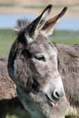 Donkey puts out a tongue portrait — Stock Photo