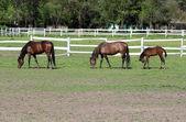 Horses and foal on farm — Stock Photo