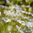 White wild flowers meadow nature background  — Foto de Stock
