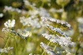 Sfondo sfondo bianco fiori selvatici prato — Foto Stock